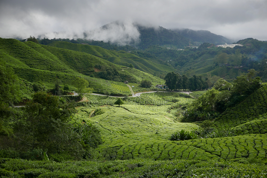 BOH tea plantation, Cameron Highlands (photo by Irina Stelea)