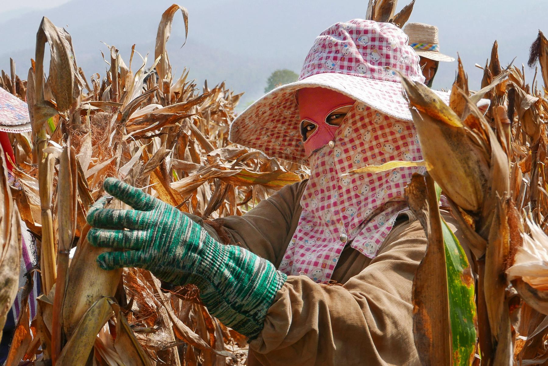 Corn picker, Mae Sariang, Northern Thailand (photo by Irina Stelea)
